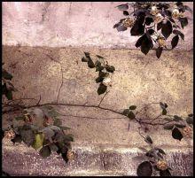 Roses-rustique